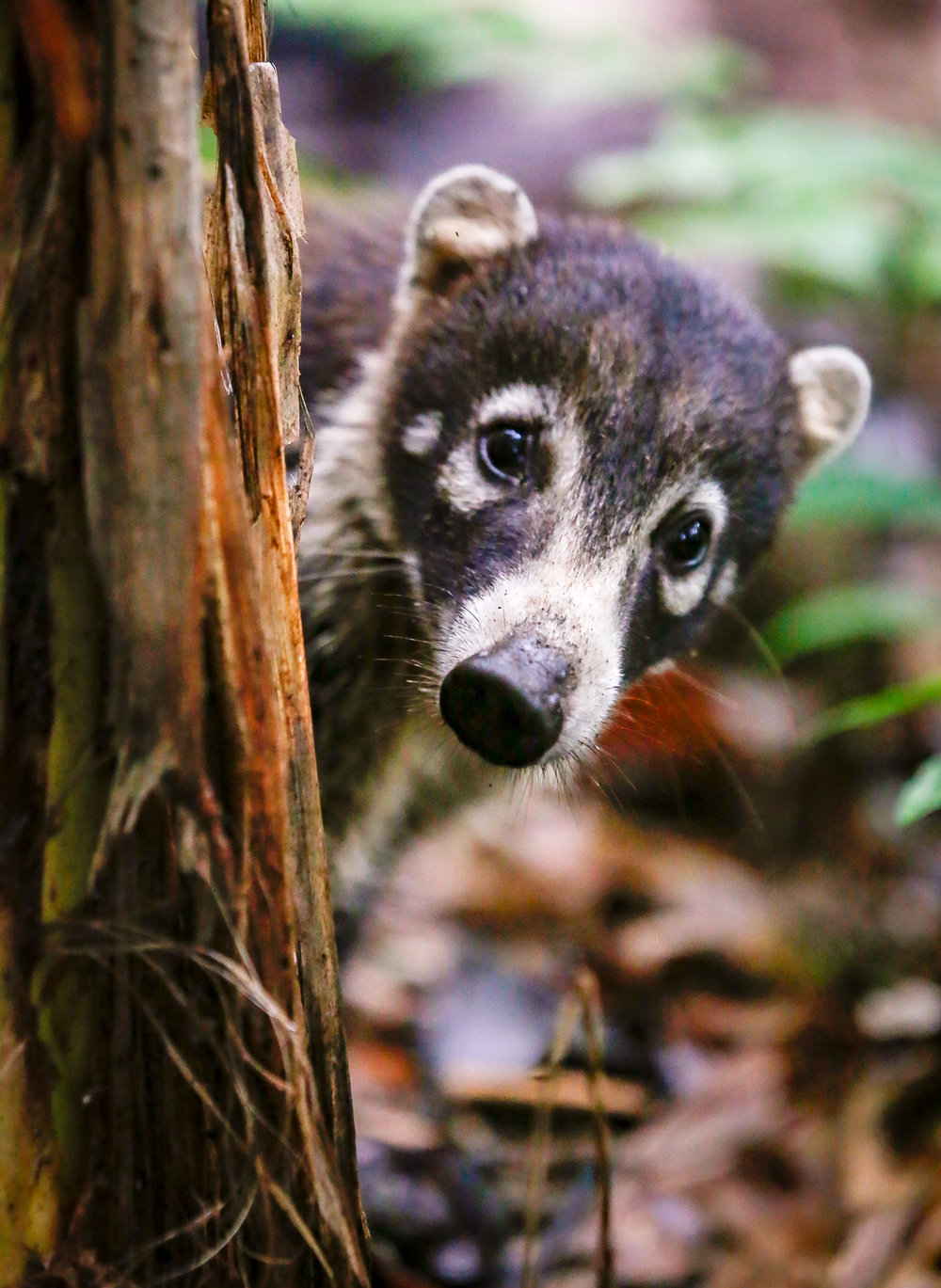 White Nosed Coati; Peek-a-Boo! Taken in Corcovado National Park, Cost Rica.  Photo by Ben Blankenship. August 2017.