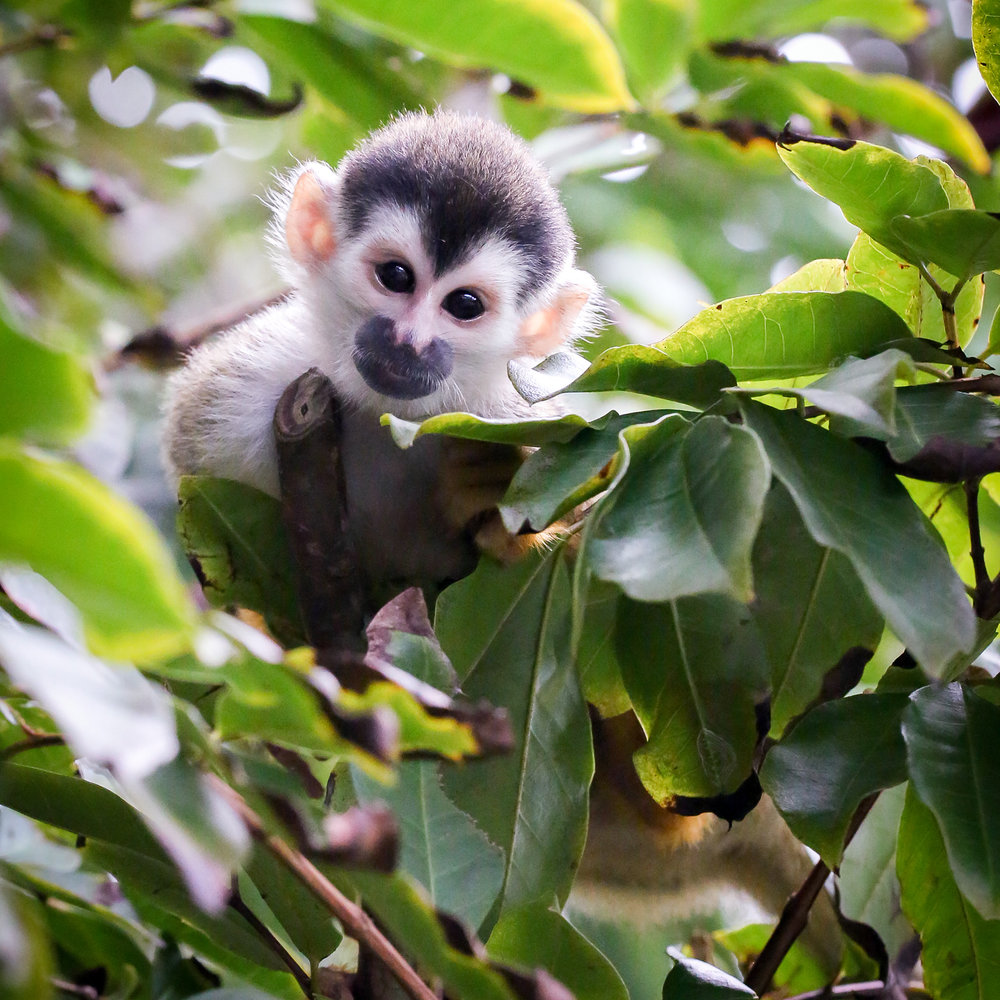 Squirrel Monkey or Forest Elf?  Taken in Carate, Costa Rica near Corcovado National Park. Photo by Ben Blankenship. April 2018.