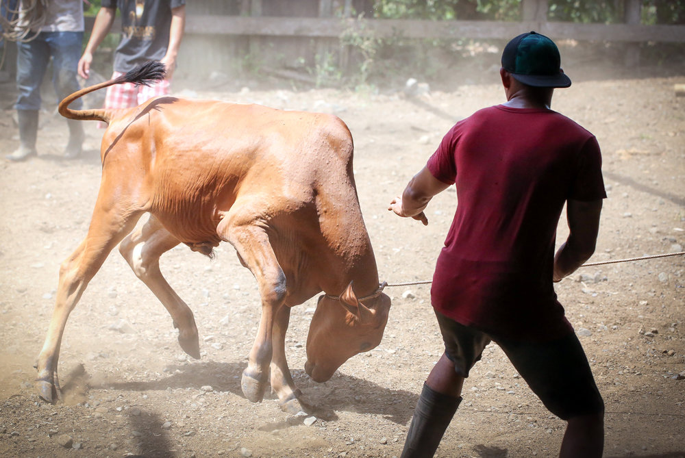 A young man braces for impact as a bull thrashes and bucks around whilst tethered to a pole.