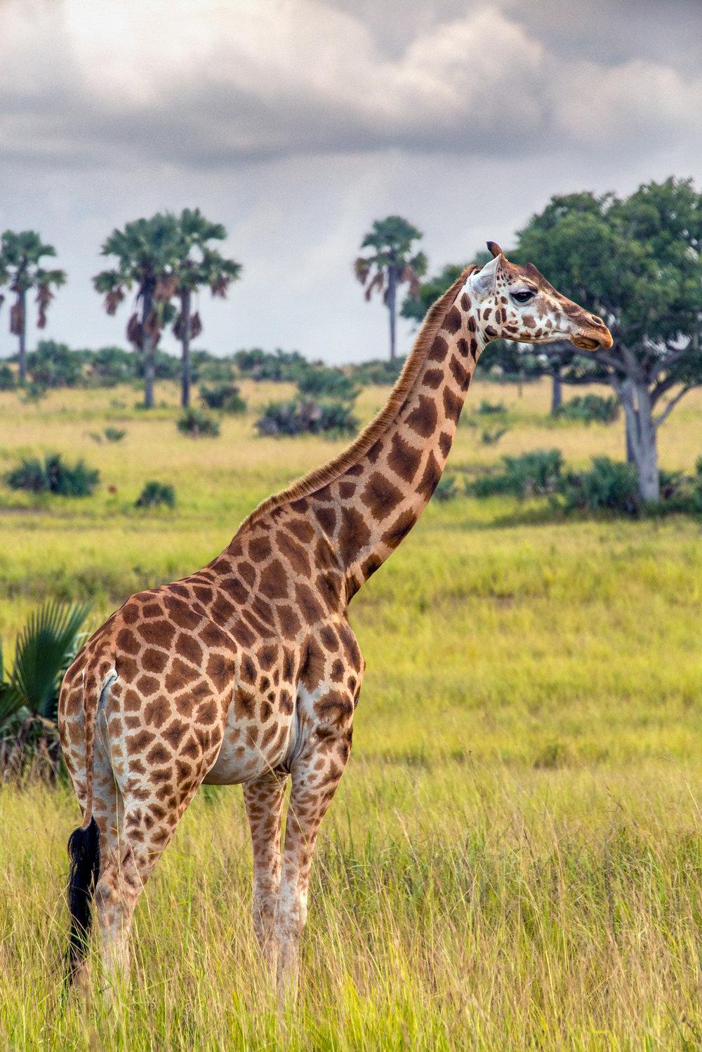 Female Rothschild's Giraffe #1