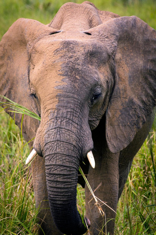 Young Female Elephant #1