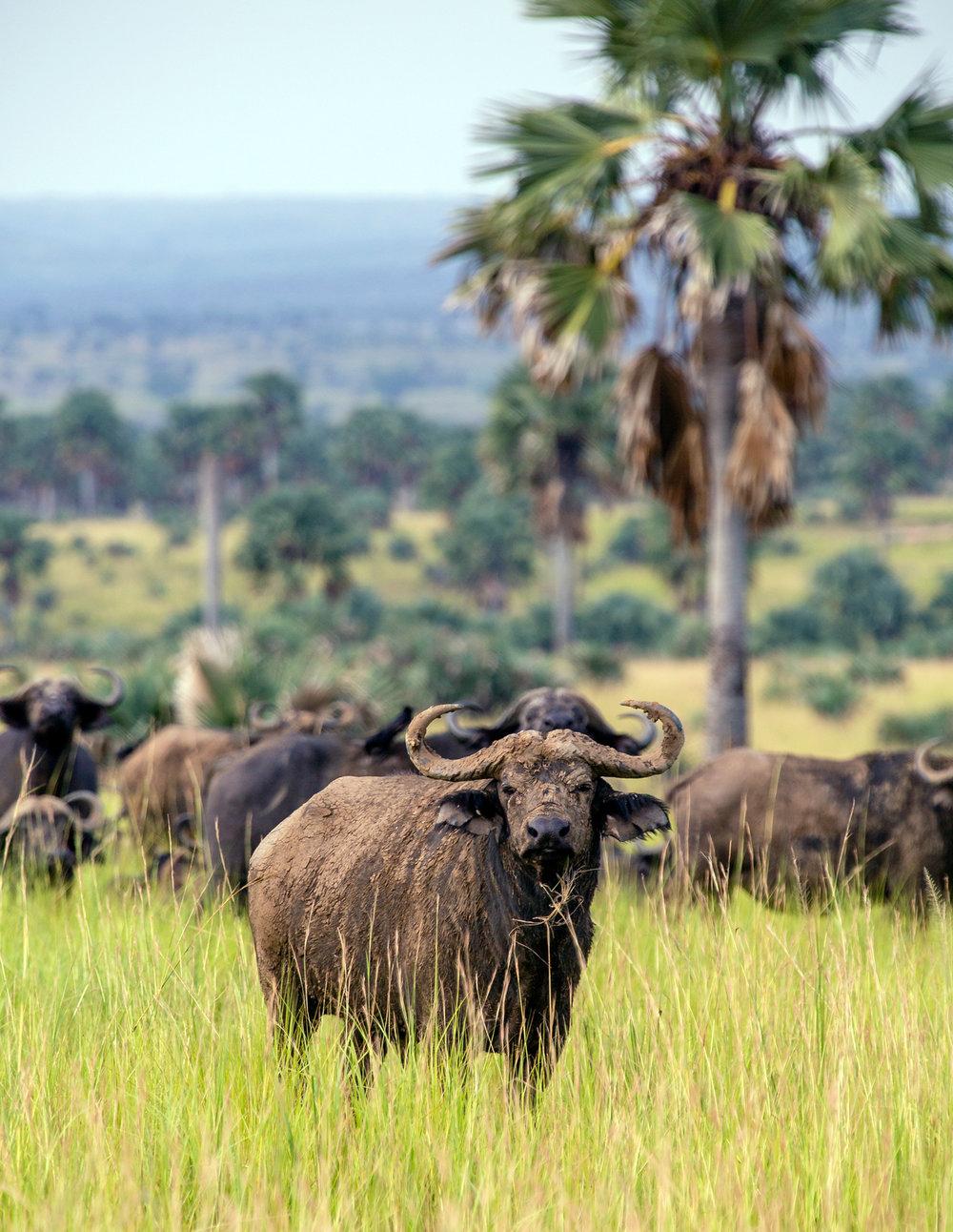 Cape Buffalo - Murchison Falls