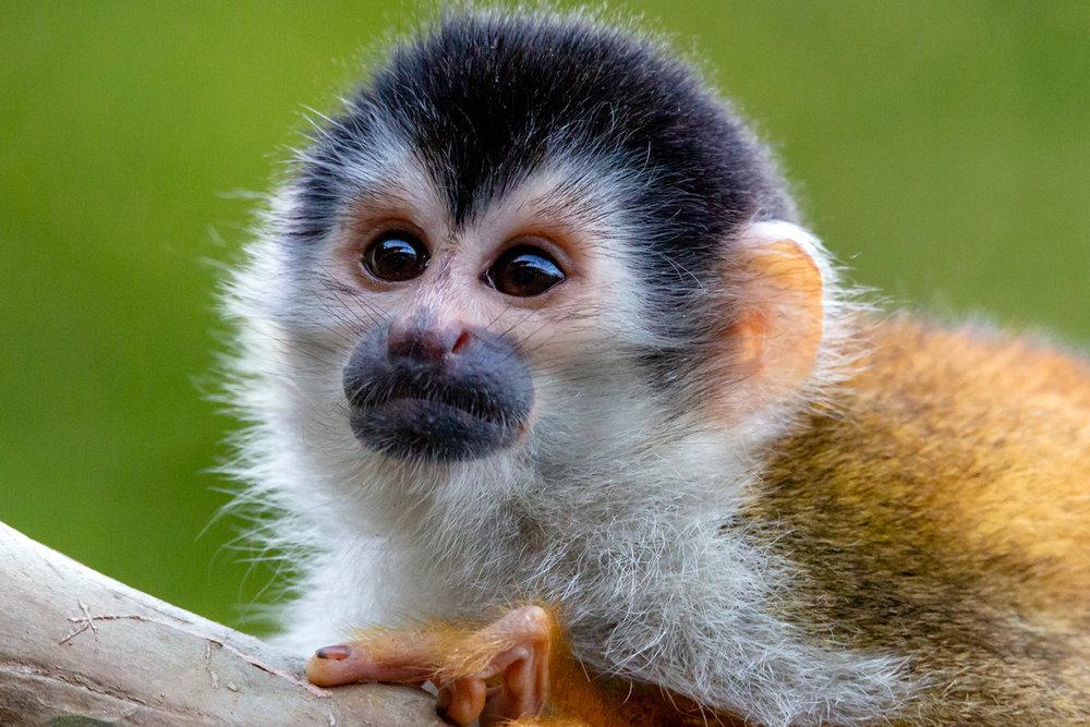 Squirrel Monkey Portrait