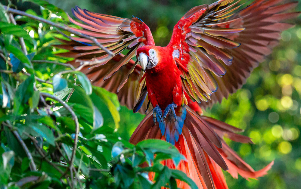 Scarlet Macaw - Landing in Style