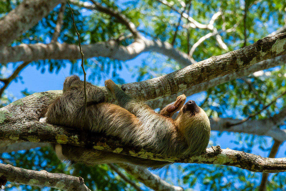 Two Toed Sloth Taking a Nap