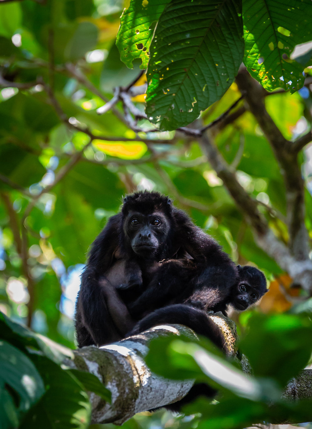 Female Mantled Howler Monkey with Offspring - Taken in Rio Pro, Costa Rica. Photo by Ben Blankenship ©2019