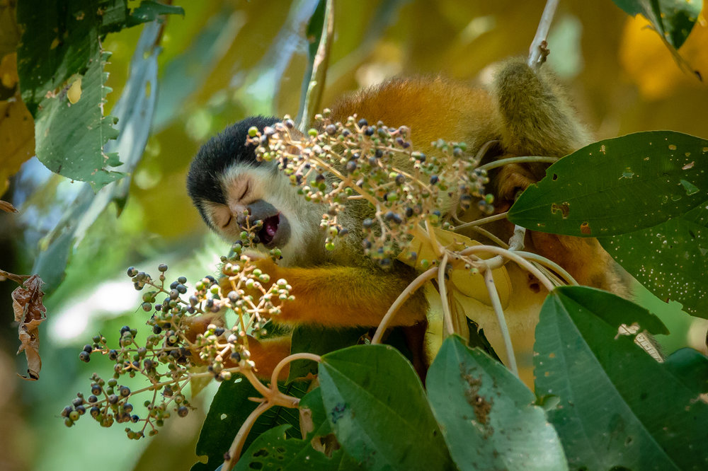 Nom nom nom… Central American Squirrel Monkey Feeding. Taken in Carate, Costa Rica. Photo by Ben Blankenship. ©2019
