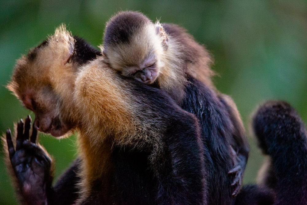 A Mother's Love. Female White Faced Capuchin with Offspring. Taken in Carate, Costa Rica. Photo by Ben Blankenship. ©2019
