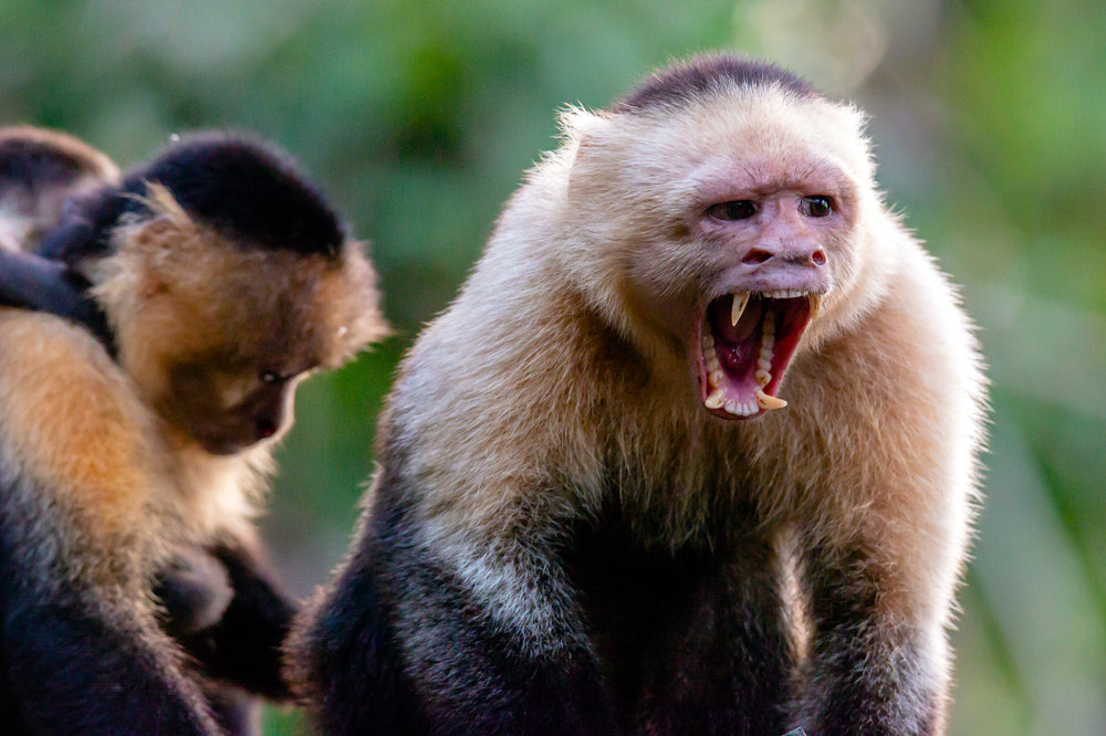 Look at My Teeth! Male White Faced Capuchin in Threat Display. Taken in Carate, Costa Rica. Photo by Ben Blankenship. ©2019