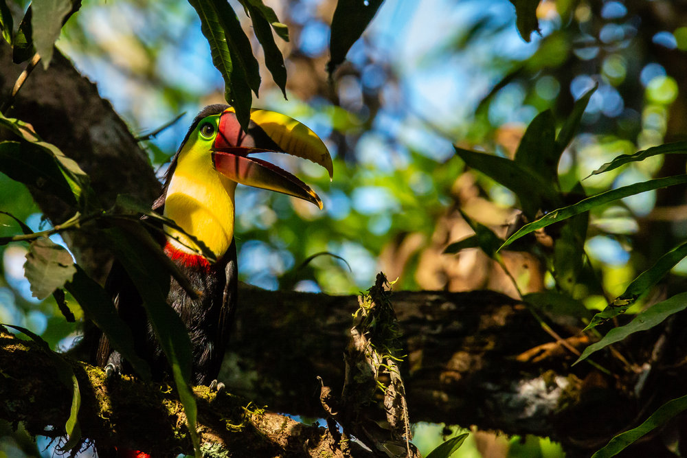 Chestnut-mandibled Toucan in a Mango Tree. Taken in Carate, Costa Rica. Photo by Ben Blankenship. ©2019