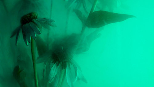 Echinacea_AESTHESIA_HIGGS2.jpg
