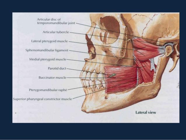 tmj-anatomy muscles.jpg