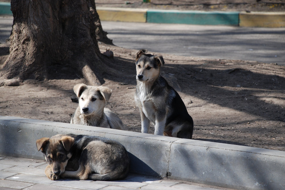 India has more stray dogs than the combined populations of Australia and New Zealand