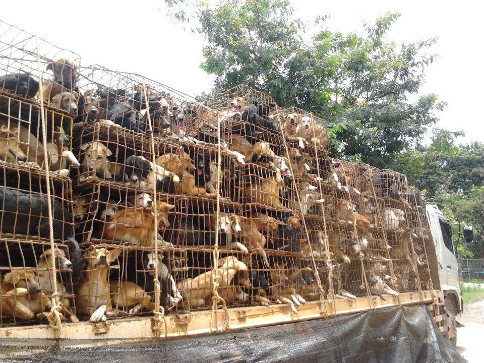 Increasingly popular: Dogs on their way to market in Vietnam. Source: Soi Dog Foundation