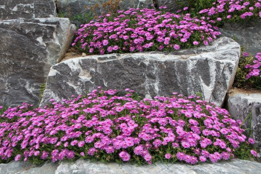 pine_country_flowers_plants_nature_spring_pink_pretty_flower_gardens-604557.jpg