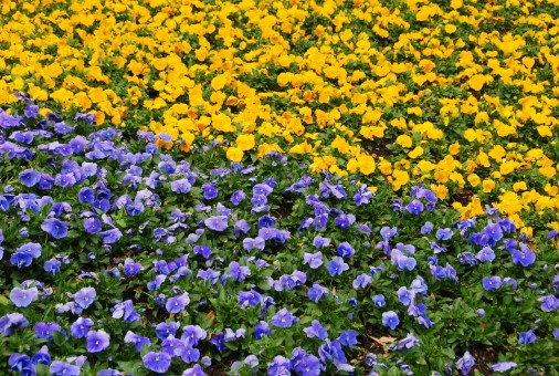 flowers_bed_yellow_purple_violet_bright_colorful_landscaping-755136.jpg