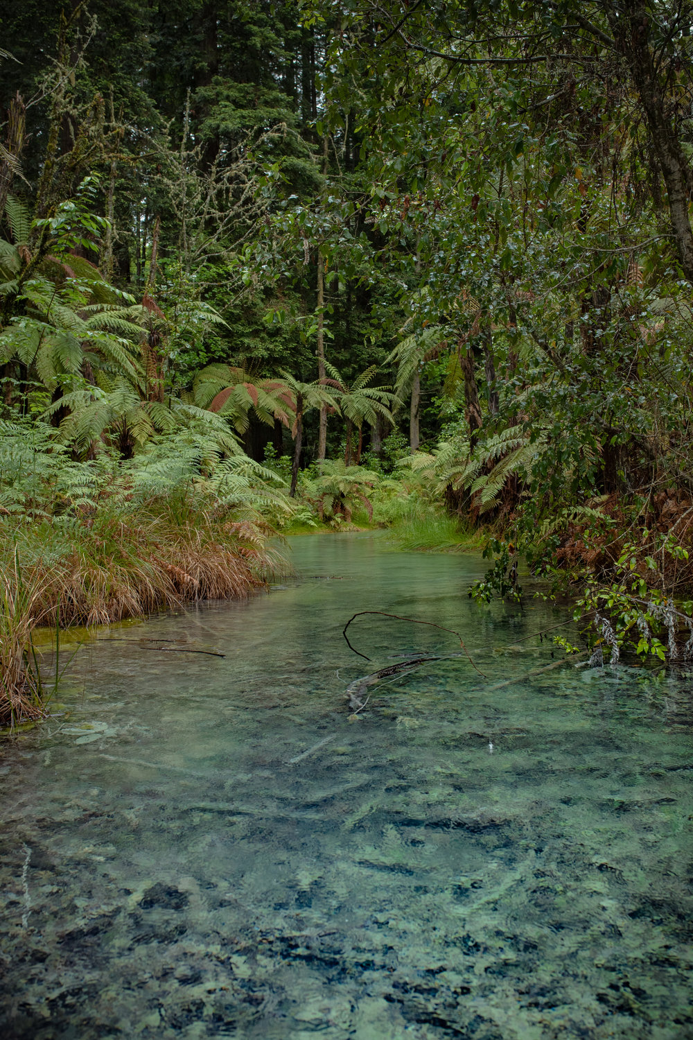 The sulfur springs are not just surrounded by the mighty redwoods - tree ferns and twiners are contributing to a jungle-like feelling.