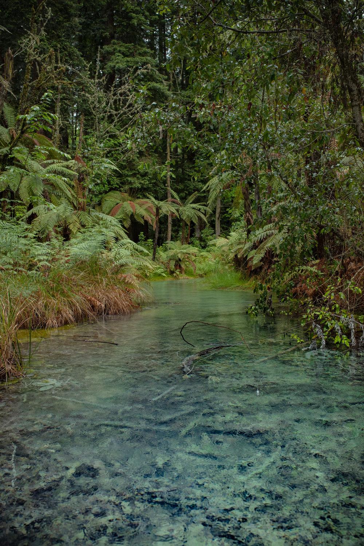 Nicht nur die mächtigen Red Woods stehen an den Schwefelquellen - Baumfarne und Kletterpflanzen tragen zum urwaldhaften Feeling bei.