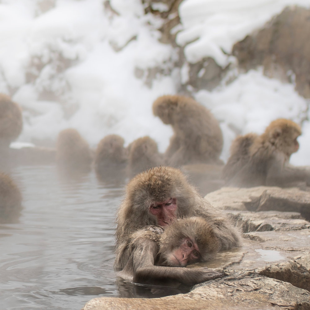 Japan - bathing Snow Monkeys.jpg