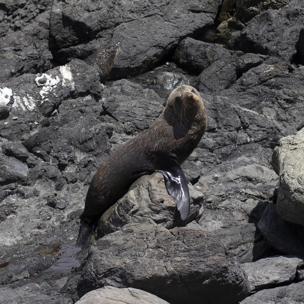 New Zealand Seal.jpg