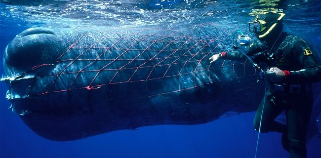 Sperm-whale-entangled-in-a-fishing-net.jpg