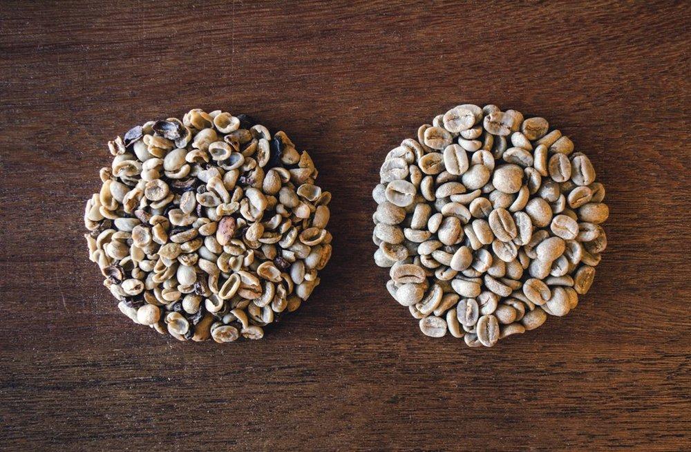 Em comparação com o café comum (à esq.), o café especial é integralmente isento de defeitos, como fragmentos de pedras e galhos (Foto Daiana Dietzmann/Divulgação)