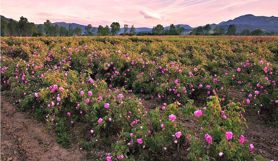 morocco-marrakech-valley-roses.jpg