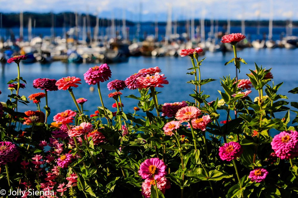 Colorful Zinnia flowers stand in front of a marina and mountains