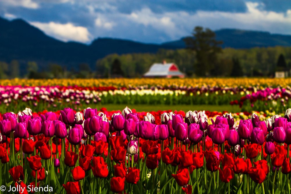 Tulips and a Red Barn in the Skagit Valley. This metal print is available for purchase via Fine Art Photography on the website.