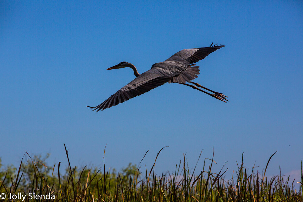 Great Blue Heron flies over the Everglades