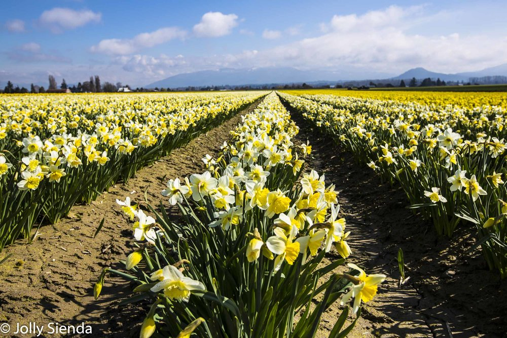 Daffodil fields at the Skagit Valley