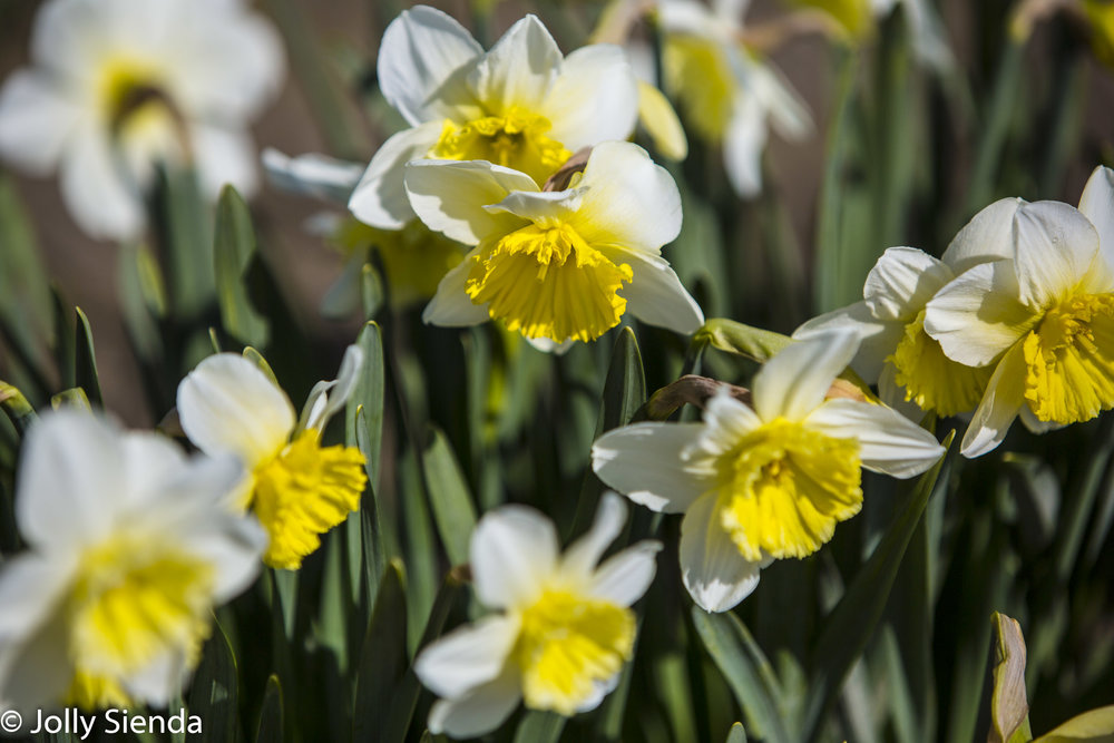 So happy for spring! Daffodils along the Skagit Valley, Washington