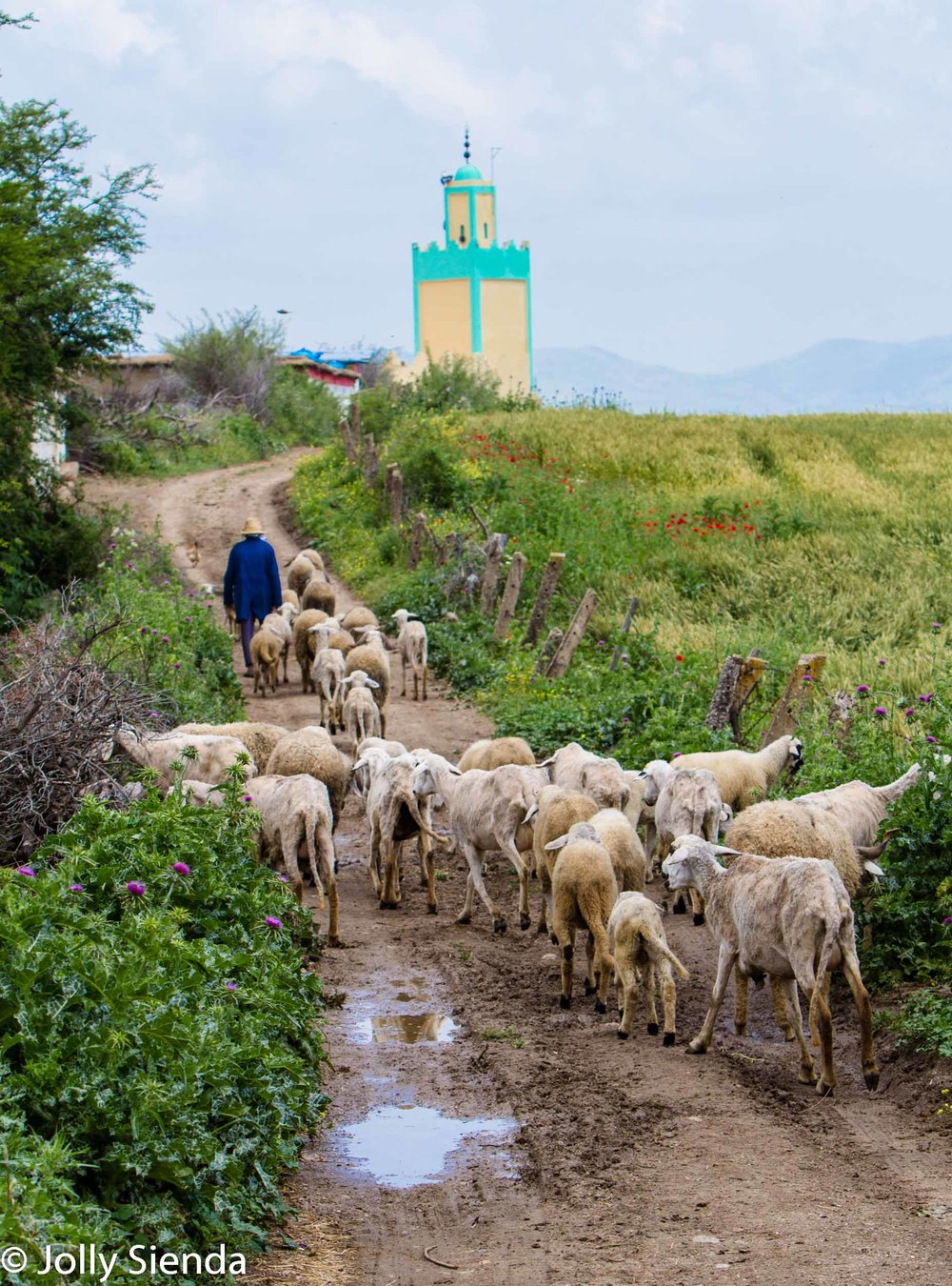 Shepherd herds his sheep towards the mosque