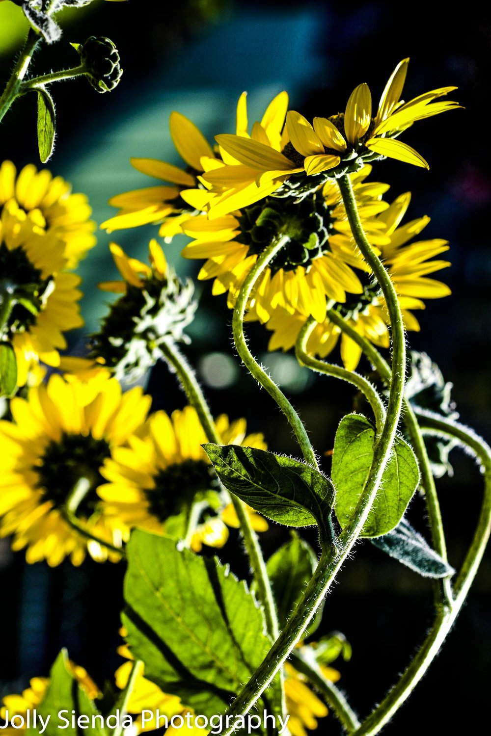 Sunflowers dance in the sunlight