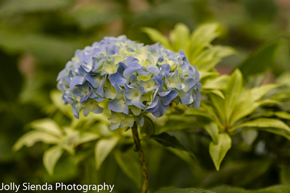 Blue and yellow Hydrangea