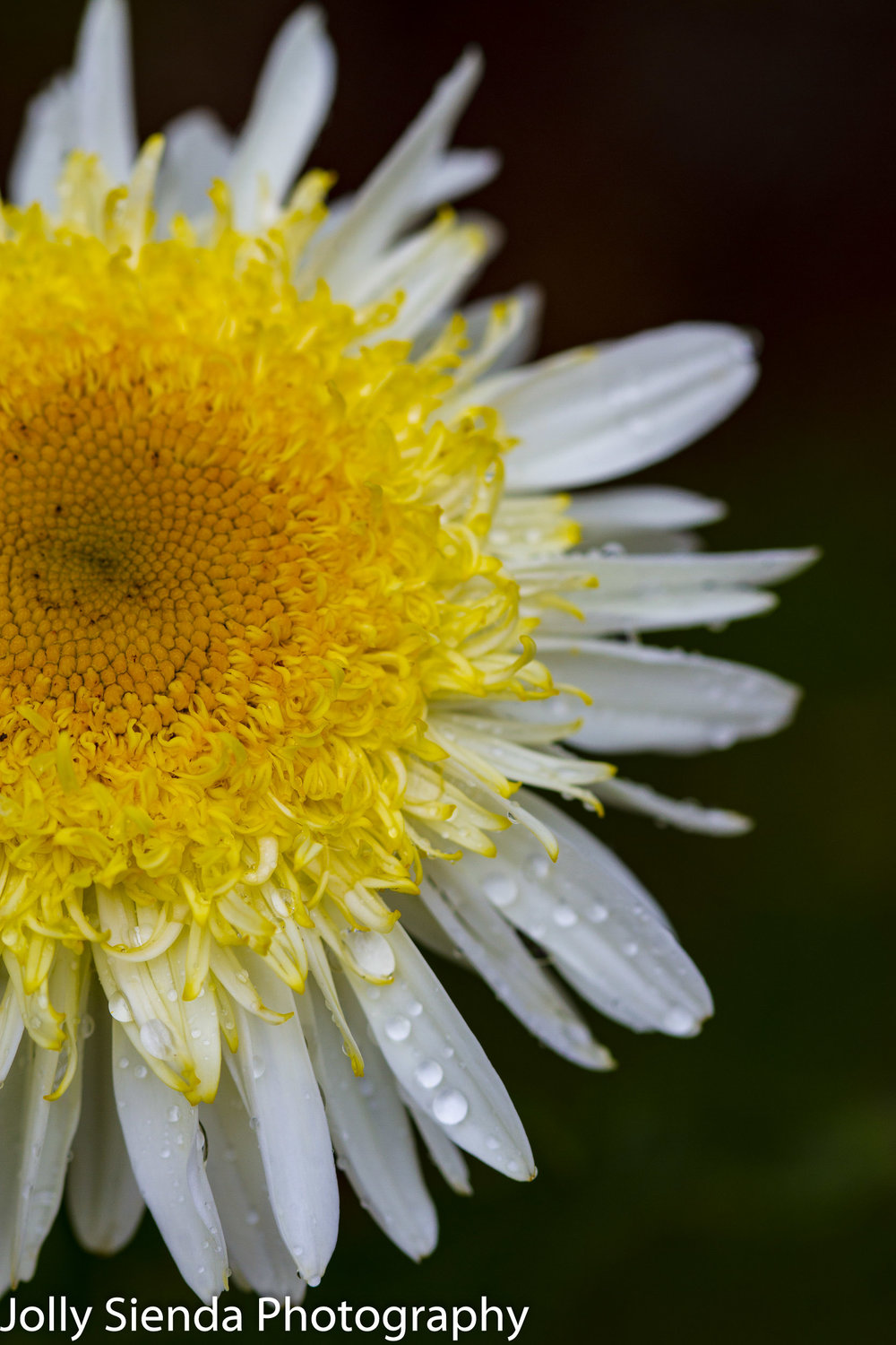 Yellow and white daisy with water droplets