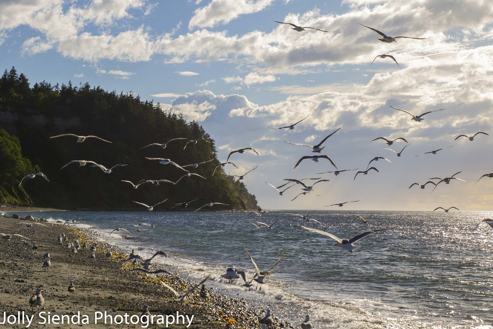Seagulls along the shore at Fort Worden beach, Fort Worden, Washington.