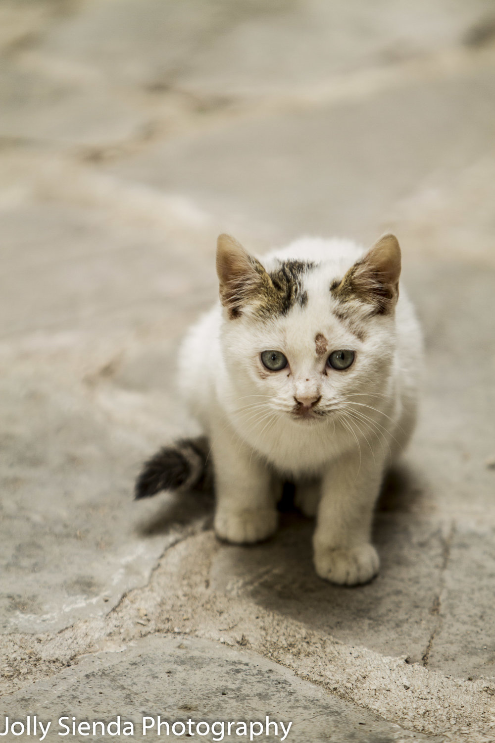 A white spotted kitten looks at something on a cobblestone stree