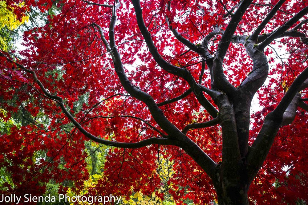 Maple Tree, Bremerton, Washington.