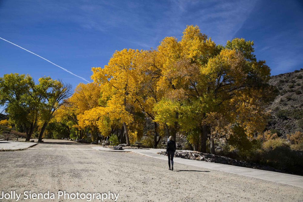 Taking a walk along the golden Aspen trees