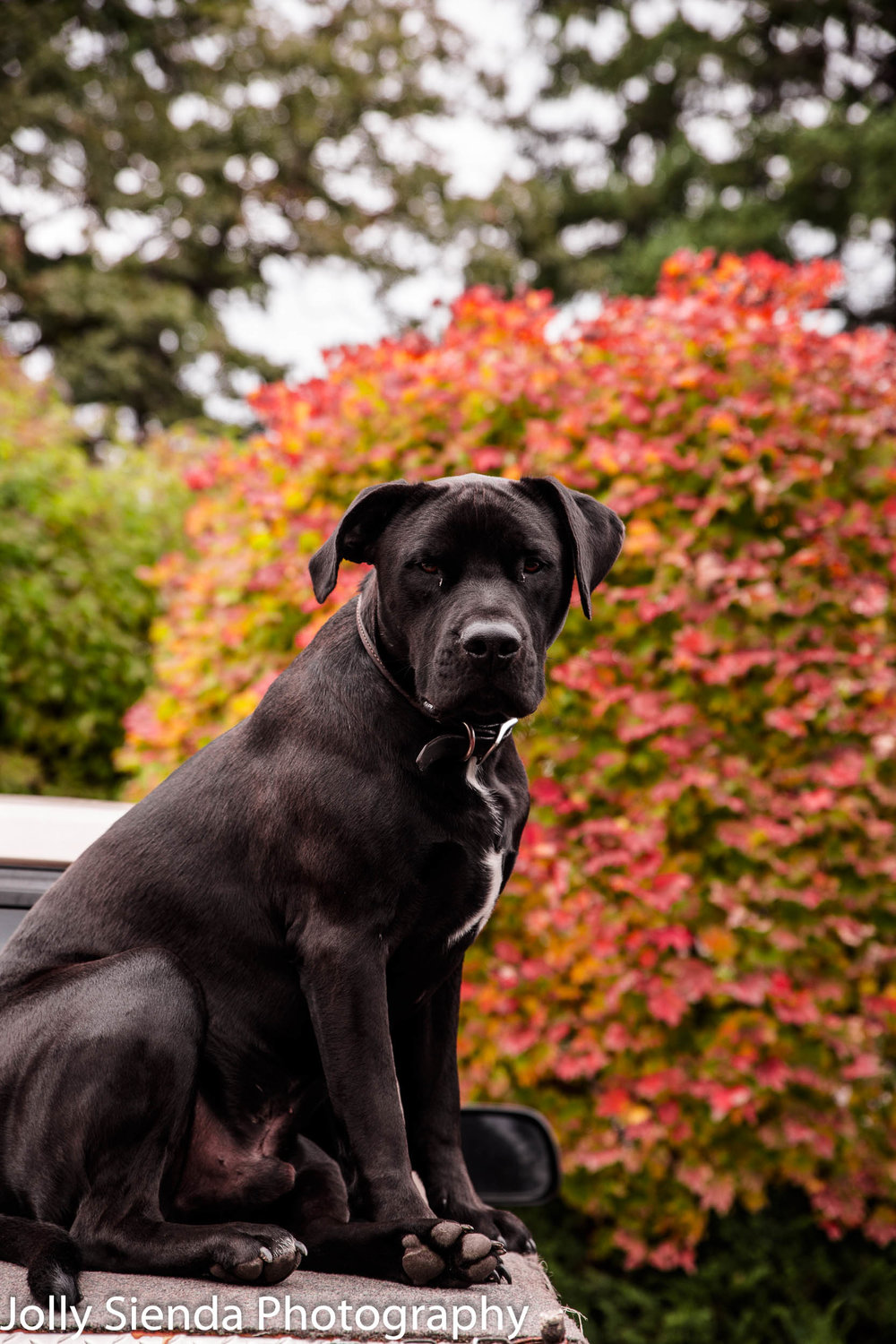 Black dog sits on a truck bed with bright, color, Autumn bushes