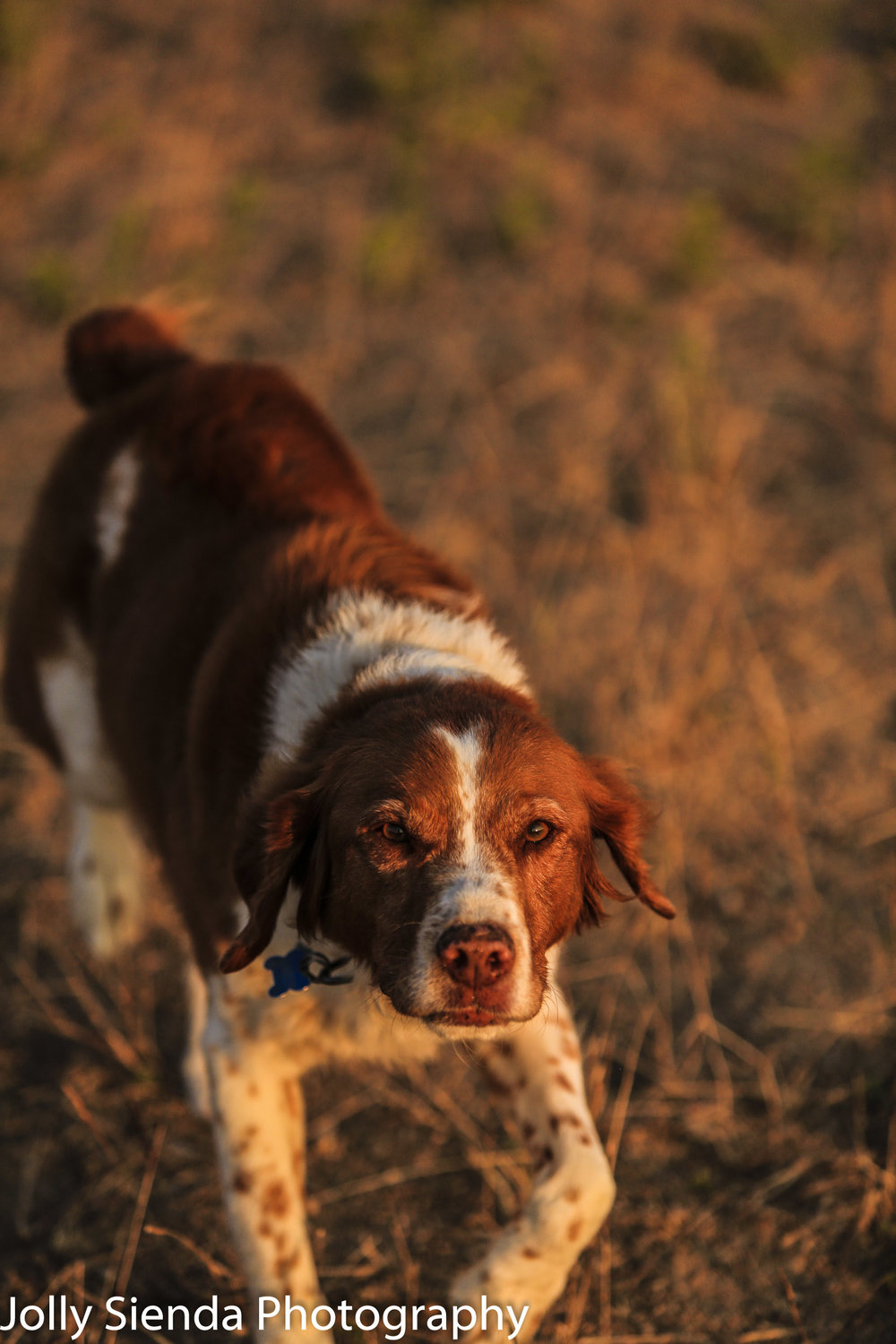 Chestnut color Crocker Spaniel Hunting dog on a field at sunset