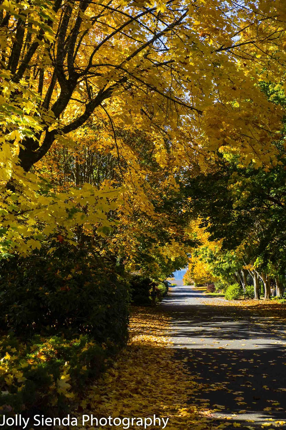 Golden yellow fall trees shade a sunny roadway