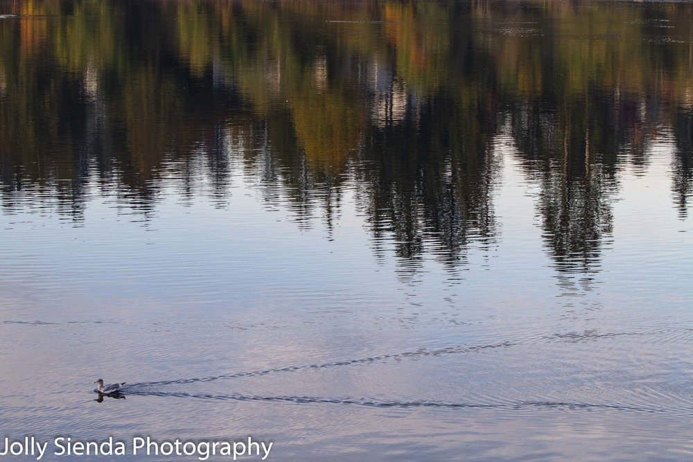 Seagull drifts on the water while a reflection of Autumn trees adds a touch of fall color to the water