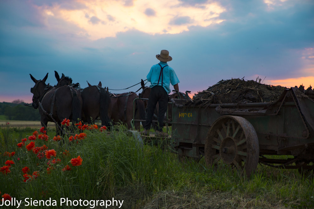 Amish man steers team of horses and mules on a steel wagon