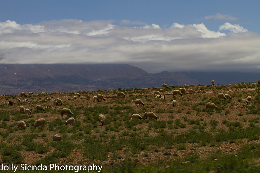 Sheep grazing and the Atlas Mountains