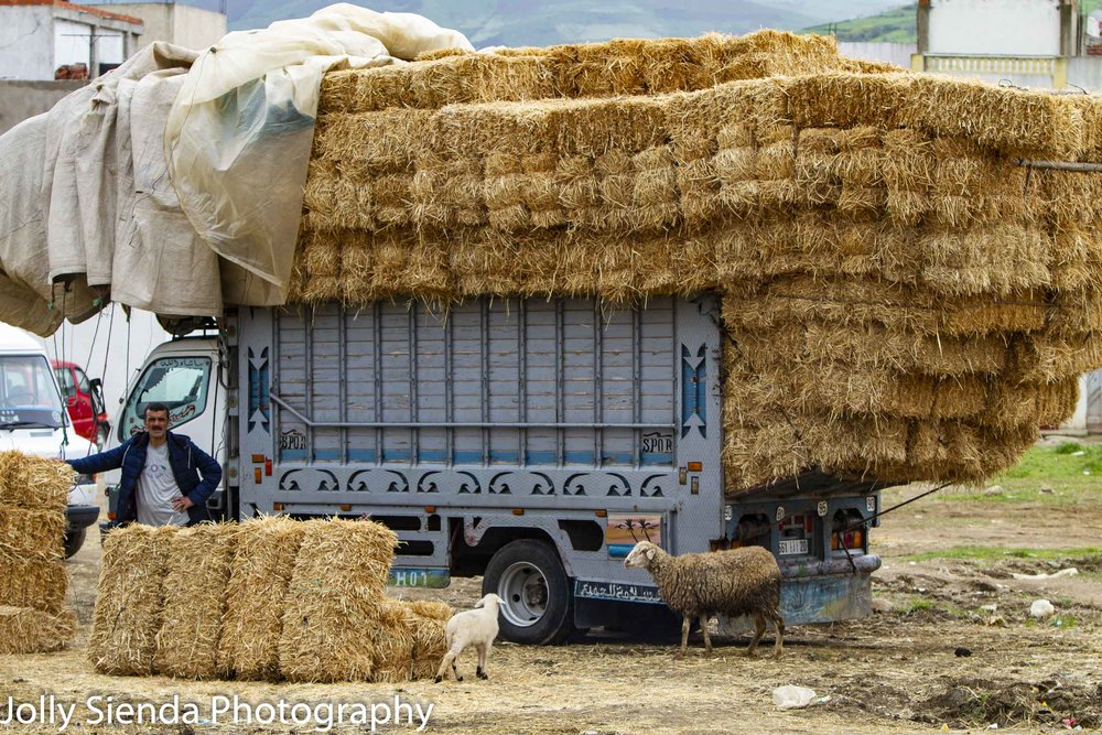 Truck piled high with hay and sheep