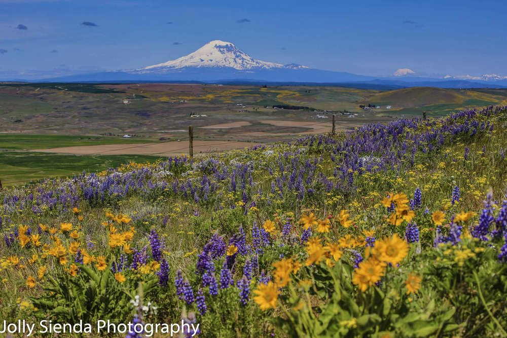 Snow capped Mount Adams looks across Klickitat  County valley an