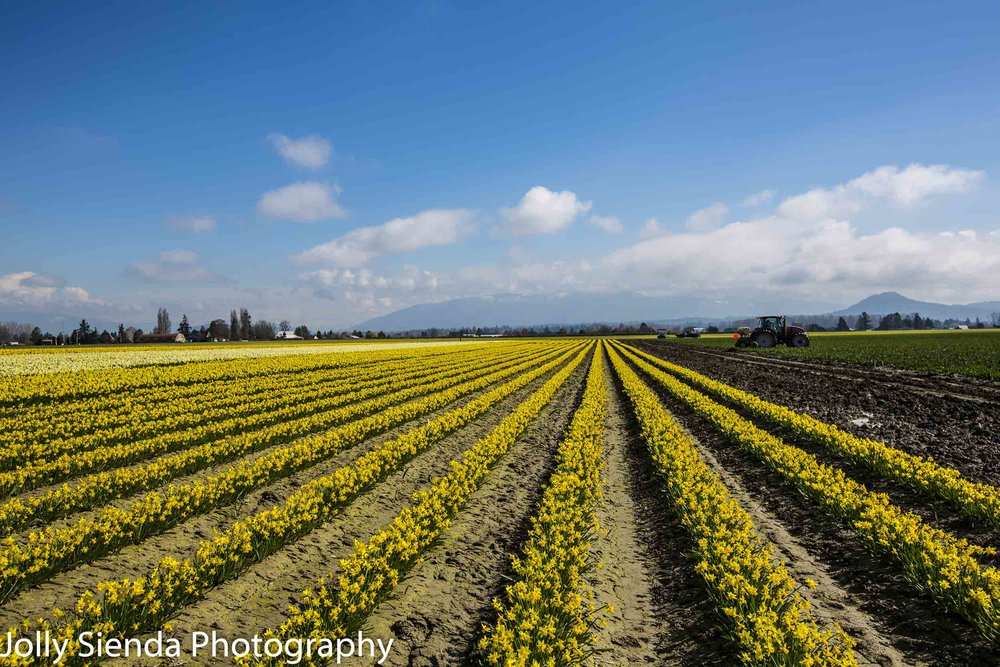 Long rows of daffodils in a field and tractors