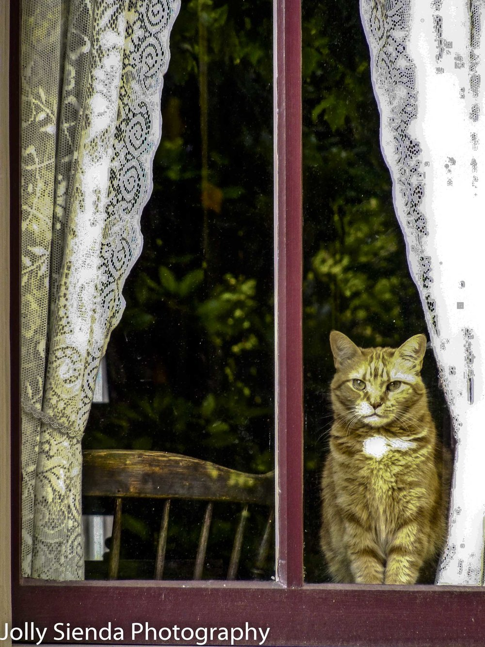 Orange Tabby Cat Looks out the Window Through Lace Curtains
